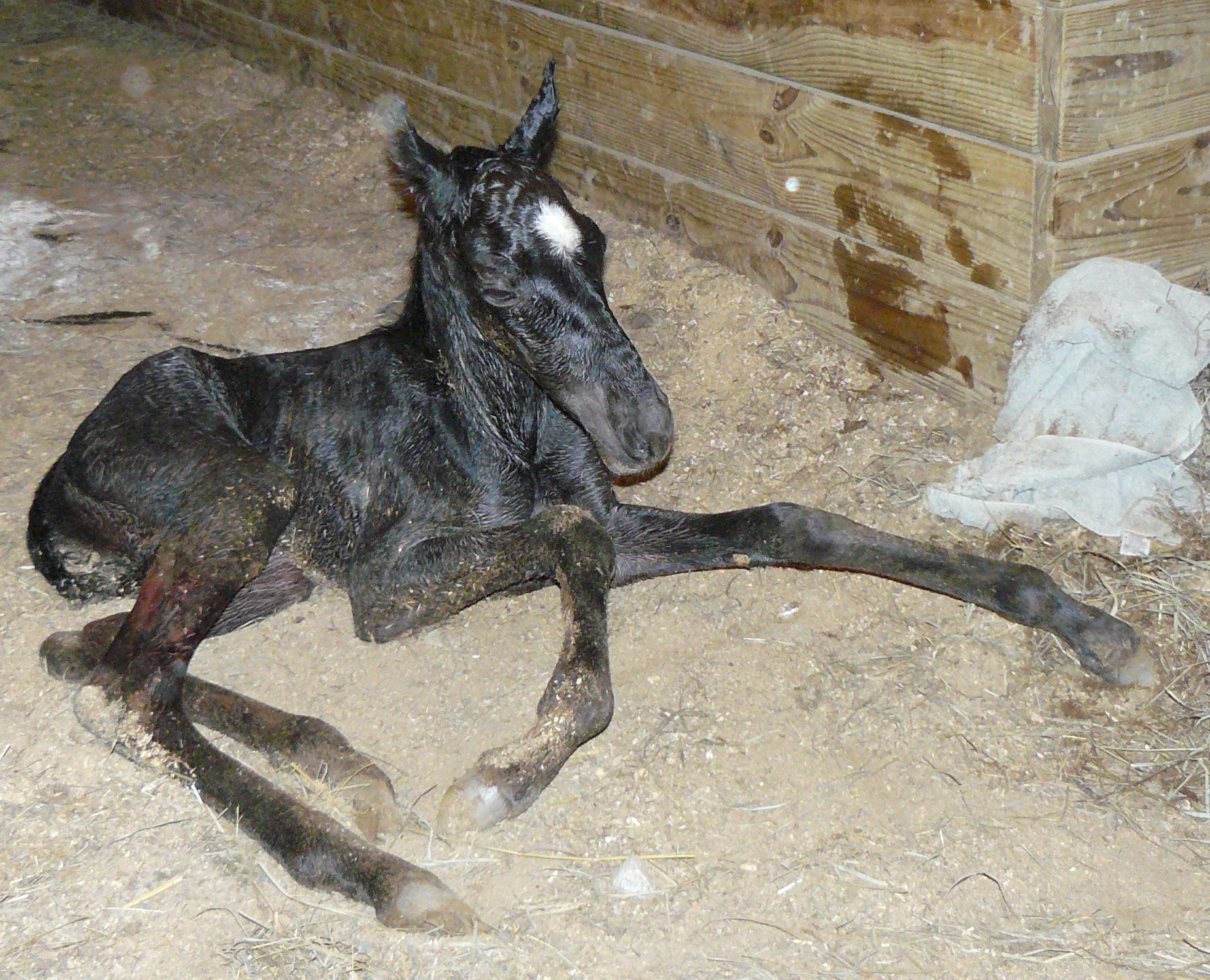 Blue Roan Filly by Indigo Blue at Genesistwh.com